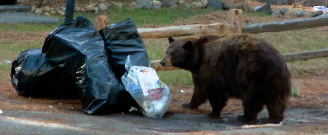 garbage bags attract bears