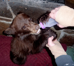 Thanksgiving cub rescued