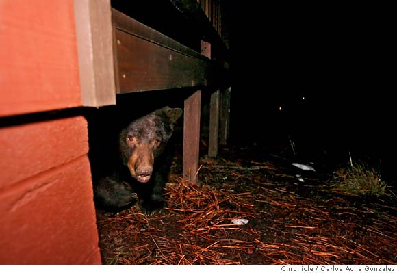 bear running from under house