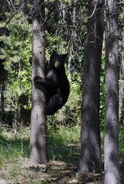 bear descends tree