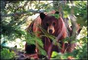 Tahoe black bear