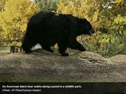 Is a bear invasion in Lake Tahoe's near future?