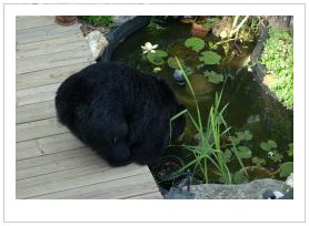 black bear drinking in landscaped water feature