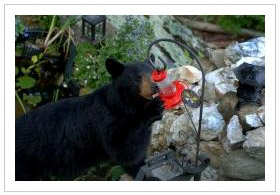 Black bear getting into a hummingbird feeder