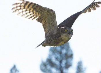 Great Horned Owl released