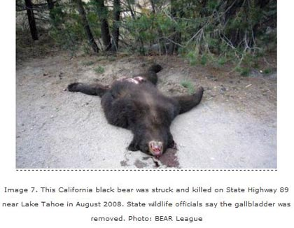 CA black bear with gall bladder removed - photo BEAR League
